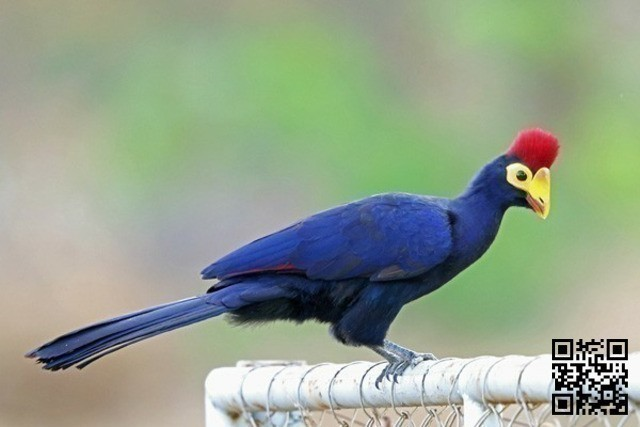 Turaco lady ross - 3/4