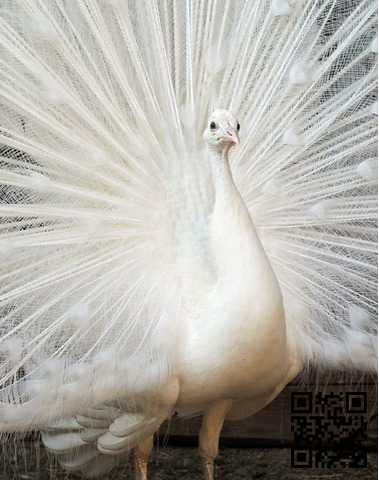 Pavo Real Blanco - 1/2